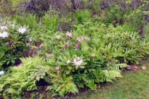Rhododendron 'Pohjola's Daughter' with ostrich ferns behind it. 'Pohjola's Daughter' is a Finnish hybrid that was bred to have broad evergreen leaves, large showy flowers, and very hardy flower buds.