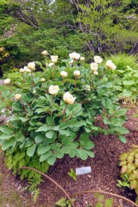This is a Paeonia daurica, a perennial herbaceous plant belonging to the peony family. It has slender carrot-shaped roots and leaves mostly consisting of nine leaflets, with one flower per stem.