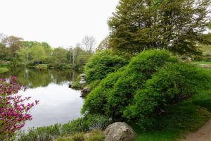 One of the garden's main attractions is its balance of natural and man made beauty. The combination of natural vegetation, stones and water, along with the plantings create a wonderful blend of the east and west. Looking East across the Pond - Lonicera xylosteum, a honeysuckle, on the right. and unopened buds of Rhododendron yedoense var. poukhanense on the left.