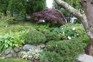 Here is another beautifully colored Japanese maple positioned among the gorgeous greenery.