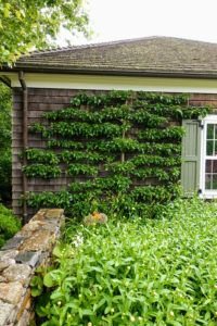 Here is a beautiful espalier fruit tree against the exterior of this property's cottage. Kevin loved this cottage and was ready to move into it.
