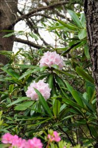 Here is Rhododendron 'Spellbinder'. It was planted 20-years ago, and is just blooming for the first time this year. Everyone at the garden is overjoyed.
