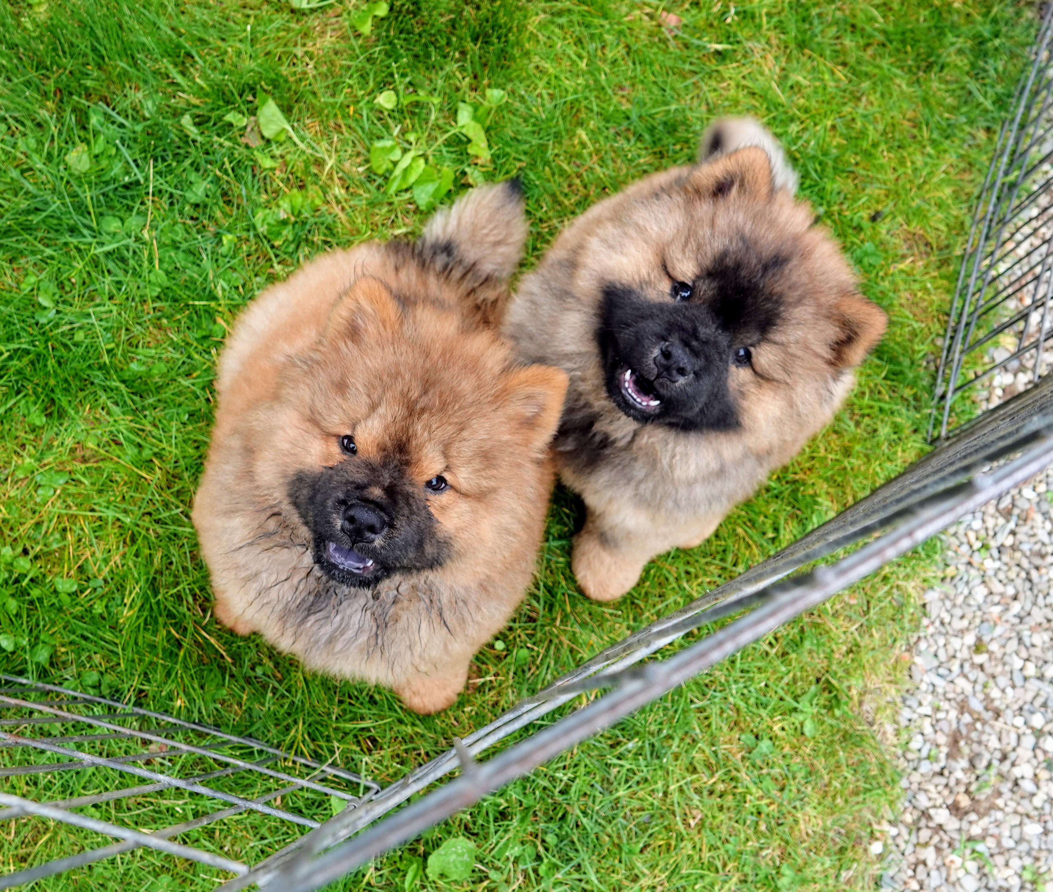The Martha Stewart Blog Blog Archive A Chow Chow Puppy At The Farm