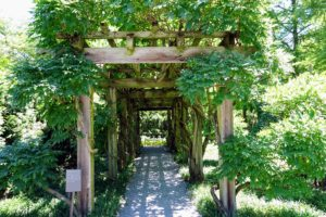 This is Longwood's wisteria arbor, Wisteria floribunda. It is filled with decades-old vines. This wisteria is a species of flowering plant in the pea family Fabaceae, native to Japan. It is a woody, deciduous twining climber that can grow 30-feet long.