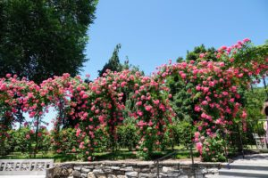 Outside in full bloom, we saw the Rose Arbor. Roses are just exploding everywhere this season. This arbor is filled with the climbing rose, Rosa 'American Pillar', a very striking rose with almost single flowers of deep carmine-pink and white eyes.