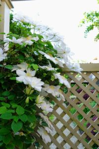 And here - young, white clematis fill the trellis gate with cheerful white blooms.