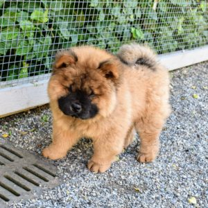 Chow Chows tend to have independent spirits - some would call them even catlike. They are also very loyal companions, and love to be with their families. I can't wait to see Han with my grandchildren.
