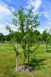 We planted a variety of apple trees, plum trees, cherry trees, peach, pear and quince trees in this paddock.