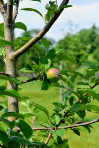 And here is just one of the apple trees bursting with young fruits.