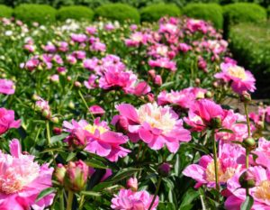 'Beautiful Señorita', a Japanese variety, has a double row of deep, pink guard petals and a creamy center.