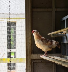Chickens prefer to roost on high levels. In their fenced enclosure, the chickens are provided ladders and natural roosts made out of felled trees. Inside the coop, they have ledges in front of their nesting boxes. As you can see, my chickens are very happy birds.