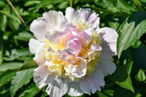 Both herbaceous and tree peonies need rich soil and consistent moisture in order to perform their best.
