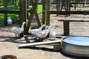 We visited my baby Sebastopol gosslings. the Sebastopol goose originated in southeastern Europe, and is named after the Russian city. These goslings will weigh 12 to 14 pounds each when mature, and have long, soft-quilled frizzled feathers.