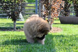 Han seemed more curious about the grass and bugs. There are two types of coat on a Chow Chow - rough and smooth. Both are double coated. This is a rough coated Chow. The outer coat is abundant, dense, and straight. The undercoat is soft and woolly. On a puppy, the coat is soft, thick and just woolly overall.
