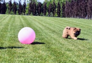 We took Han out to the fenced in pool area and let him run on the flat grassy field - he was not sure what to think of the giant pink ball.