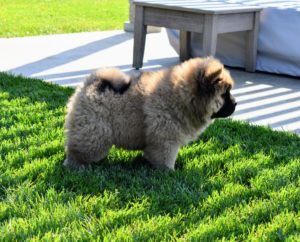 According to the breed's standard, Chows should be sturdy and squarely built. Its body should be compact, and heavy boned.