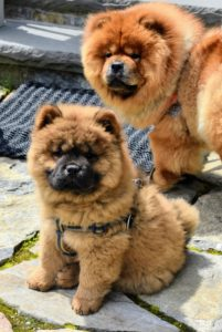 Of course, everyone loves seeing the doggies. Here are my Chow Chows, baby Emperor Han and his sister, Empress Qin. They came out for a brief visit and then went back into the house where it was much cooler and more comfortable for them.