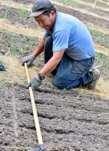 We wanted the onion plant rows to look tidy and straight, so to guide the rows, Phurba uses the end of a long wooden rake to press in the soil.