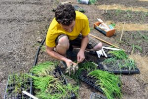 Next, he carefully removes the onion plants from the flats in which they were started.