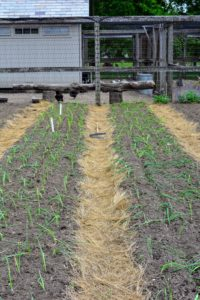 Here are the onions the day they were planted. Onion plants generally grow from one to three feet tall and up to a one-foot spread. It is best to rotate onion crops. Last year, we planted our onions several rows down from this section of the garden.