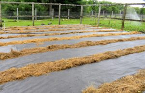 The outdoor grounds crew already covered the beds with thick, black weed cloth to make the beds neat, tidy, and free from weeds. The foot paths were also covered to deter the weeds from growing. Tomatoes should be planted in an area with full sun and well-drained soil.