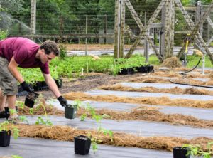 Then Ryan sets all the plants in the rows where they will be planted, making sure all the plants are equally spaced along the bed.