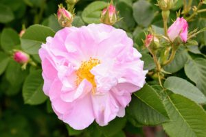 Here is a beautiful rose in light pink.