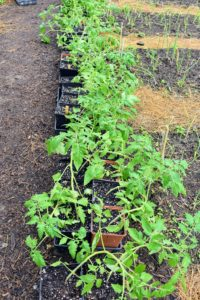 And now these plants are at least a foot tall. We always grow an abundance of tomatoes – I love to share them with family and friends and use them to make all the delicious tomato sauce we enjoy through the year.