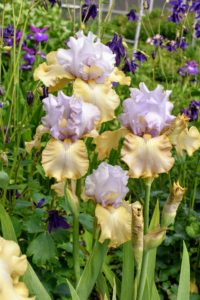 Bearded irises need full sun, good drainage, lots of space, and quality soil. They come in just about every flower color, both solids and bicolors. Branched flower stalks range in height from eight-inch miniatures to 48-inch giants - and all make excellent cut flowers.