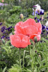 Oriental poppy blossoms, Papaver orientale, last only a week or two, but during that time, they provide one of the high points of the gardening season with its bold colors.