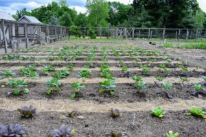 The garden is really looking excellent this season - it won't be long before we have a bounty of fresh vegetables.