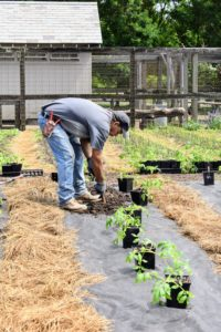 Transplanted tomatoes that are kept free of weeds for the first four to eight weeks can usually outcompete emerging weeds later. Using a small shovel, Carlos creates a hole for each of the tomato plants. Most tomato plant varieties need about 100-days to mature, but there are some that only need 50-60 days. You can also stagger your plantings, so you have early, mid and late season tomato harvests.