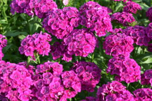 There are numerous types of dianthus - most have pink, red, or white flowers with notched petals.