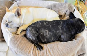 The two Frenchies are now clean and comfy - it won't be long before they are up and ready to play some more.