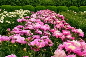 Roy Klehm's is a plant source I've used for many years. My plan was always to plant a lot of peonies in one large garden bed – I've been so pleased with its growth and stunning displays of color. http://www.songsparrow.com