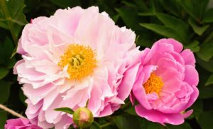 The peony is a perennial flower. The majority of peonies are hybrids, and classified as herbaceous, or as deciduous tree peonies. The peony is showy, frilly, and incredibly fragrant, with thick, large green leaves and tuberous root systems.