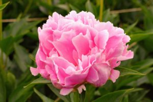 The peony is any plant in the genus Paeonia, the only genus in the family Paeoniaceae. They are native to Asia, Europe and Western North America.