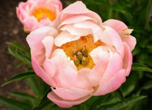 If needed, give a balanced perennial fertilizer. Peonies love potassium. It is essential for stem strength, but also helps promote strong flower production.