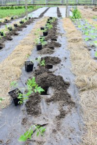 Each plant is positioned right next to its hole. We try to fit at least 10 to 12-plants in each row to maximize the use of garden bed space.