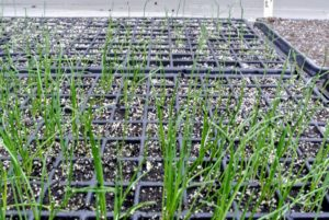 Here are the onion plants one month after seeding. It is good to start larger onions from seed, so they can be harvested the same year. Smaller onions can be planted directly into the ground.