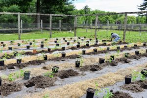 The holes are also about three-feet apart from each other. Carlos continues to dig the holes for each plant until all the rows are done. This can take a bit of time. The holes are just big enough to plant in and small enough to prevent a good amount of weeds from emerging.
