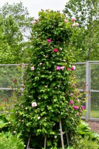 Look how wonderful these roses are doing on my tower trellis. I have several of these towers trellises in the garden.