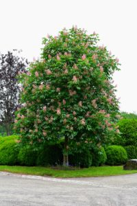 At the other end of the Boxwood Allee are two horse-chestnut trees. Aesculus x carnea is a striking deciduous specimen with dark green, coarse-textured foliage. The multitude of pink to bright scarlet blooms are eye-catching.