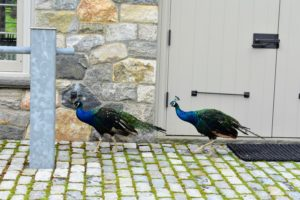 Two of my gorgeous peacocks were in front of the stable waiting to greet everyone who passed.