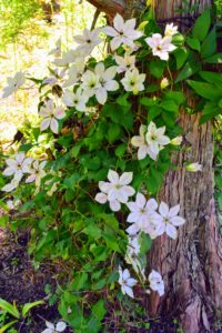 Every year, these clematis vines look more and more beautiful. If you don't already have clematis in your garden, I hope this inspires you plant one or two or three…