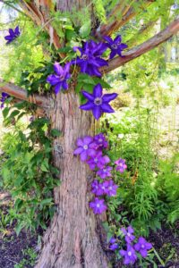 It can take several years for a clematis vine to mature and begin flowering prolifically. To shorten the wait, purchase a plant that's at least two-years old.