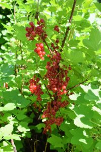When grown, red currants should be trained as open-centered bushes, with enough room to spread, so light and air can flow freely around the branches.