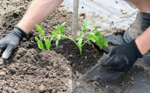 If the seedling is already too tall and wobbly, dig a trench instead of a hole and lay the plant on its side. The stronger root system also helps the plant better survive the hot weather. This applies to tomatoes planted in the ground, in a raised bed or in a container.