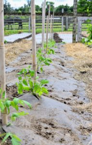 At this stage, they are staked with two to three foot tall bamboo canes. They can be tied gently with jute twine - the loop around the plant stem should be just tight enough to keep the vine secure, but not break it. These plants look so much better when kept upright and neat. Most tomato plant varieties need between 50 and 90 days to mature. Planting can also be staggered to produce early, mid and late season tomato harvests.