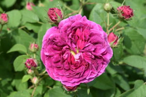 And the best way to prevent rose diseases is to choose disease-resistant varieties. Many roses are bred and selected to resist the most common rose problems.